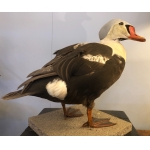 Naturalized gray-headed eider, taxidermy.
